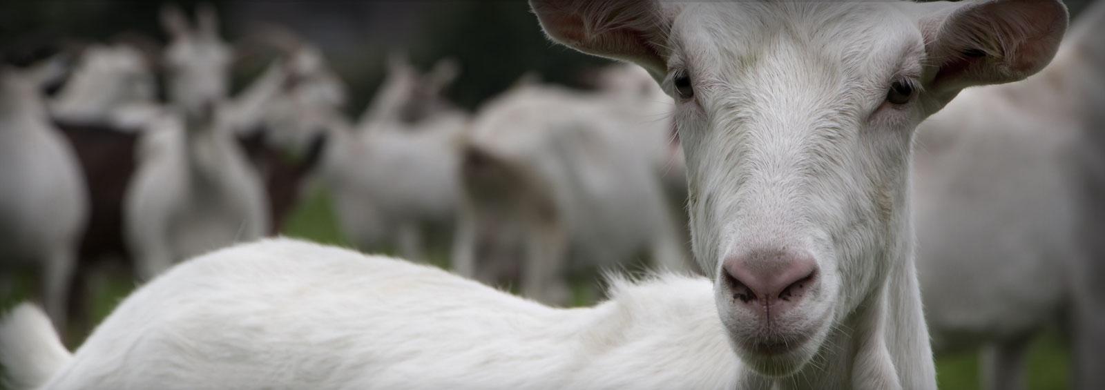 white_goats1